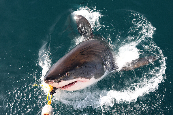 Sharks also love Montauk